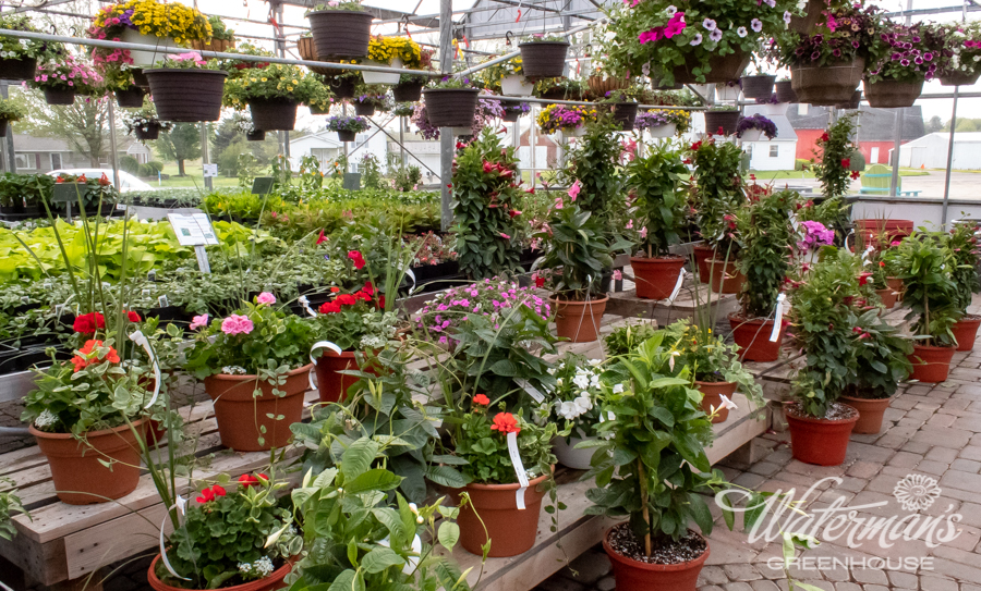 Proven Winners, Certified Garden Center, Annuals, Perennials, Shrubs, Trees, Bulk, Mulch, Near Me, Greenhouse, Nursery, Plants, Flowers, WNY, Best, Beautiful, Close by, Quality, Western New York, Concord, East Concord, Springville, Orchard Park, Hamburg, Boston, Glenwood, Colden, West Valley, North Boston, Eden, Angola, Ellicottville, Arcade, Yorkshire, Japanese Maple, Peony, Petunias, Hanging Baskets, Rhododendron, varieties, Hybrid, unique, unusual, dahlia, bunnera, lady's mantle, spirea, rose, bleeding heart, weekender, flagstone, Techo Block, Cambridge, natural stone, bulk, mulch, hardwood, gardening, supplies, planters, pots.